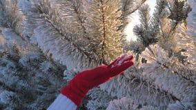 La mano femenina del primer del movimiento pasa en ramas nevadas de la picea almacen de video