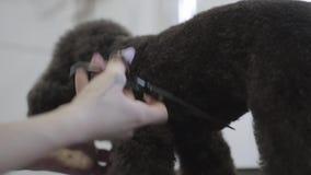 La mano femenina en groomer profesional esquila las lanas del perro con las tijeras Perro adorable en animal doméstico del peluqu almacen de metraje de vídeo