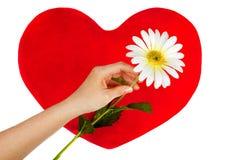La mano femenina sostiene la manzanilla sobre corazón rojo. Imagen de archivo libre de regalías