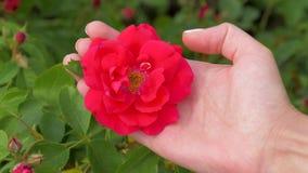 La mano femenina sostiene los pétalos de una flor de Rose Bud And Gently Strokes The con su pulgar metrajes