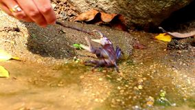 La mano femenina toca el palillo del cangrejo en bosque profundo almacen de metraje de vídeo