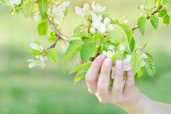 La mano femminile con di melo fiorisce, manicure Fine in su Fotografia Stock Libera da Diritti
