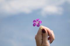 La mano femminile tiene il flowe del campo Fotografie Stock