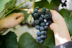 La mano femminile tiene l'uva Primo piano con le foglie verdi sui precedenti Uva che prepara per il vino Fotografia Stock Libera da Diritti