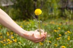 La mano femminile tiene una boccetta con il fiore del dente di leone Immagine Stock