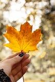 La mano femminile tiene una foglia di acero di autunno Fotografia Stock
