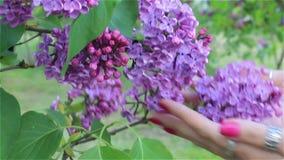 La mano femminile tocca il primo piano dei fiori del lillà archivi video