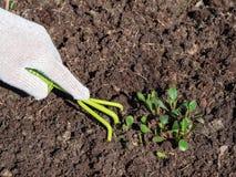 La mano in guanto allenta il suolo con una zappa dell'utensile speciale immagine stock