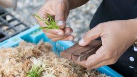 la mano ha messo la giovane pianta della cultura del tessuto sul bordo di legno Immagini Stock Libere da Diritti