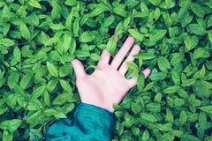 La mano humana miente en las hojas verdes con las gotas de agua, el concepto de unidad de la humanidad con la naturaleza fotos de archivo libres de regalías