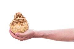 La mano masculina está sosteniendo un apio nabo imagen de archivo