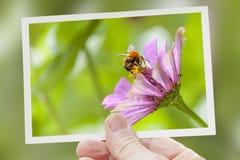 La mano muestra un tiro de la abeja que recoge la miel Imágenes de archivo libres de regalías