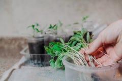La mano prende il germoglio fragile del pomodoro dalla scatola di plastica Immagini Stock