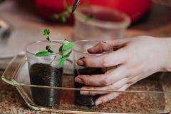 La mano prende il germoglio fragile del pomodoro dalla scatola di plastica Immagine Stock