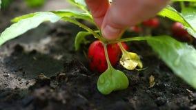 La mano prende il ravanello rosso maturo dalla terra archivi video