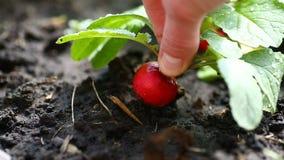 La mano prende il ravanello rosso maturo dalla terra video d archivio