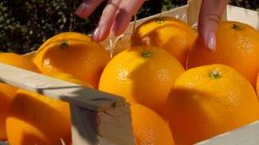 La mano prende l'arancia succosa matura da una scatola di legno archivi video