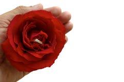 La mano que sostiene una sola rosa roja con el anillo de diamante de plata dentro imagen de archivo libre de regalías