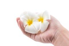La mano sta tenendo al fiore del frangipane in stazione termale immagine stock libera da diritti