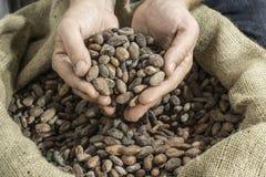 La mano tiene le fave di cacao Fotografie Stock Libere da Diritti