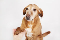 La mano y la pata amistosas sacuden, un perro marrón Foto de archivo libre de regalías