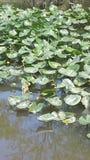 La mansión de Sir Frog de la charca del verano Fotos de archivo