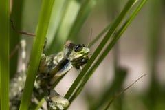 La mante de chardon, mendica de Blepharopsis dans un jardin en Chypre pendant peut à la nuit et au jour photos stock