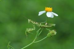 La mantis religiosa de la flor Fotos de archivo libres de regalías