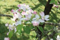 La manzana del butin de la abeja florece recogiendo el néctar de una flor en primavera soleada Foto de archivo
