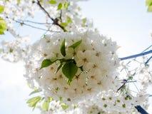 La manzana delicada de la flor blanca florece contra el cielo azul claro de la primavera Imagenes de archivo