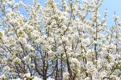 La manzana floreciente ramifica en mayo Imagenes de archivo