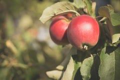 La manzana fresca roja dos está colgando en manzano Foto de archivo libre de regalías