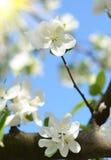 La manzana hermosa florece contra el cielo en un día soleado en sprin Fotografía de archivo libre de regalías