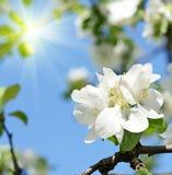 La manzana hermosa florece contra el cielo en un día soleado en sprin Foto de archivo libre de regalías
