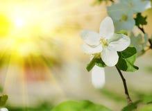 La manzana hermosa florece primer en un día soleado en primavera Imágenes de archivo libres de regalías