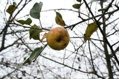 La manzana pasada Imagen de archivo libre de regalías