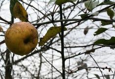 La manzana pasada Foto de archivo libre de regalías