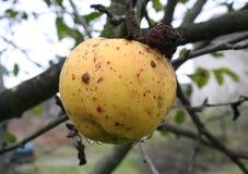 La manzana pasada Fotografía de archivo