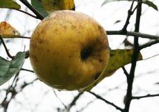 La manzana pasada Imágenes de archivo libres de regalías