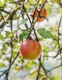 La manzana roja, amarilla da fruto en el árbol, rama del manzano El manzano (domestica) del Malus, familia color de rosa Imagen de archivo