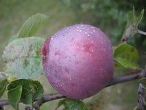 La manzana roja espartano con agua cae, hojea Fruta orgánica, jardín, otoño Imágenes de archivo libres de regalías