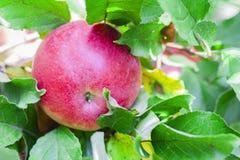 La manzana roja madura crece en un manzano en el jardín imágenes de archivo libres de regalías