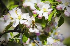 La manzana y la abeja de la flor de la inflorescencia recoge el néctar Fotos de archivo