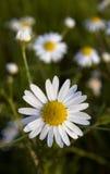 La manzanilla florece el primer Fotos de archivo