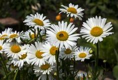 La manzanilla florece el primer Fotografía de archivo libre de regalías