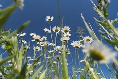 La manzanilla florece en el fondo del cielo brillante 2019 Foto de archivo