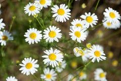 La manzanilla florece en el prado, detalle del primer Imagen de archivo