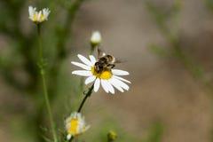 La manzanilla florece en el prado, detalle del primer con la abeja Fotos de archivo libres de regalías