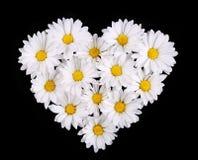 La manzanilla florece en forma del corazón en fondo negro. Margarita foto de archivo libre de regalías