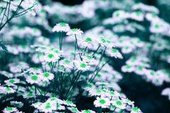 La manzanilla florece en los colores abstractos para el diseño decorativo Gree fotos de archivo